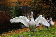 Moin Moin! (   flickrsprotte  ) Tags: schwne schwanenkinder tiere vgel kiel kleinerkiel natur herbst nikon laub oktober flickrsprotte