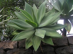 Drachenbaum-Agave in Funchal, Madeira , NGIDn1215003219 (naturgucker.de) Tags: ngidn1215003219 naturguckerde drachenbaumagaveagaveattenuata funchal cwolfgangkatz