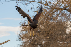 Harris's Hawk in flight