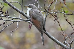 Yellow-billed Cuckoo (rwkphotos) Tags: novascotia canada yellowbilledcuckoo coccyzusamericanus