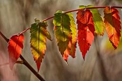Fall Colors Tulsa Style (brev99) Tags: leaves fall bokeh tamron70300vc d7100 colorefex