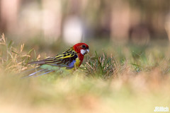 Eastern rosella, Rosellasittich, Platycercus eximius @ HaYarkon Park in Tel-Aviv, November 2016 urban nature (Jan Rillich) Tags: easternrosella rosellasittich platycercuseximius parrat feral urban jan rillich janrillich picture photo photography foto fotografie eos digital wildlife animal nature beautiful beauty sunny sun fauna flora free animalphotography image israel guest 2016 november fall winter canon 5dmarkiii 5dmark3 canon300mm telaviv urbannature park hayarkon nahalhayarkon yarkon spring feralparrot parrot escape escaped parakeet papagei sittich