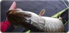 Black Friday (Nicolas Valentin) Tags: scotland fishing kayakfishing kayak pike fish poisson brochet