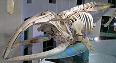 Eubalaena glacialis (North Atlantic right whale) 6 (James St. John) Tags: eubalaena glacialis north atlantic right northern whale whales mysticeti mysticete mysticetes cetacea mammal mammals skeletons cetacean cetaceans skeleton