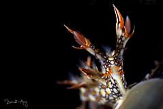 Bornella anguilla (Randi Ang) Tags: bornellaanguilla bornella anguilla nudi nudibranch seaslug tulamben bali indonesia underwater scuba diving dive photography macro randi ang canon eos 6d 100mm randiang