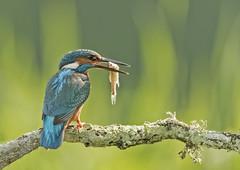 Kingfisher Dinner (Gary Hickson Photography L.R.P.S.) Tags: kingfisher kingfishers uk nature nikond750 rspb colours green wildlife wildbirds wild fish fishing eurassian