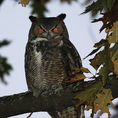 Great Horned Owl (hbp_pix) Tags: hbppix great horned owl mt auburn cemetery
