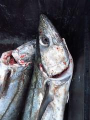 Mackeral (Mandy_moon) Tags: 2016 mackerel