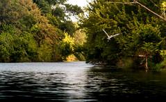 River Life (txwhitacre - I think I'm back :)) Tags: water birds river outdoors wildlife sony greatblueheron fortworthnaturecenter sonyalphadslr a7rii 7rm2