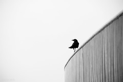 freedom's just another word (bluechameleon) Tags: blackandwhite bw bird lines vancouver fence feathers minimal crow bluechameleon sharonwish bluechameleonphotography