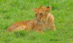 DSC_3542-b Teenage Lion cub at the tree, Masai Mara, Kenya. (GavinKenya) Tags: africa wild nature grass animal june john mammal photography gavin cub photographer kenya african wildlife lion july grand safari mara dk masai lioncub teenage masaimara naturephotography kenyasafari africansafari 2015 safaris africanwildlife africasafari johngavin wildlifephotography kenyaafrica kenyawildlife masaimaralion masaimarakenya masaimarakenyaafrica dkgrandsafaris africa2015 safari2015 johnhgavin