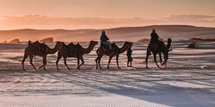 A sunset camel trek in the vast Port Stephens sand dunes (dean.white) Tags: australia au newsouthwales portstephens annabay birubipoint stocktonbeach stocktonsanddunes sanddunes sand beach sunset camels camelride cameltrek canoneos6d