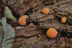 . baumkaviar ;) (Ruinenstaat) Tags: mushroom salmon pilze baum pilz slimemold kaviar lachs plasmodium tubiferaferruginosa fruchtkörper mycetozoa schleimpilz eumycetozoa ruinenstaat tumraneedi