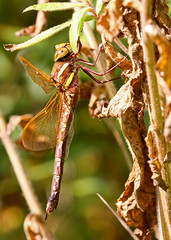 Brown Hawker female (bcmp49) Tags: cheshire jodrellbank hawker brownhawker