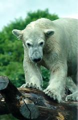 Polar Bears Ouwehands Dierenpark (lesbaer4) Tags: zoo polarbear ijsbeer rhenen ouwehandsdierenpark ouwehandszoo
