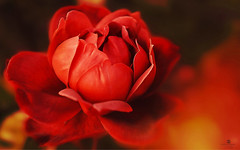 mysterious beauty (rockinmonique) Tags: red flower dark warm petal mysterious bloom masu moniquew