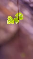 Dangling Leafs (StrauSeba) Tags: macro rock stone pflanzen leafs bltter climbingplant stengel