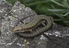 Viviparous Lizard (Daniel Langhammer) Tags: lizard ödla viviparouslizard commonlizard skogsödla