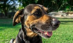 [Preta] (bgarkauskas) Tags: dog mutt flickr sony preta cachorro f3 mongrel viralata srd cadela nex 1855mmf3556 bgarkauskas