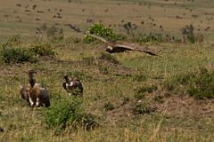 Rüppell's griffon vulture (sr667) Tags: africa canon kenya sigma aves ke vulture animalia gyps accipitridae chordata maasaimaranationalreserve accipitriformes rüppellsgriffonvulture rüppellsvulture gypsrueppelli 150500mm 150500mmf563apodgos grueppelli