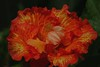 colorful (ranchodon) Tags: california orange flower canon hybiscus