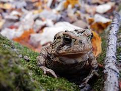 American Toad (gmspanek) Tags: american toad