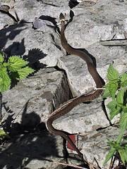 Ringslang   Grass snake (**AB**) Tags: diemerzeedijk grasssnake natrixnatrix ringslang