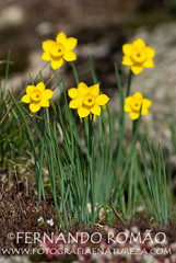 Narcissus rupicula