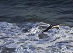 El Matador Beach (MarcCooper_1950) Tags: ocean seagulls beach birds gulls birdsinflight marinne