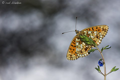 What is he doing up there? (Rob Blanken) Tags: clouds wings air smallpearlborderedfritillary boloriaselene dagvlinder zilverenmaan nikond810 parelmoervlinders sigma180mm128apomacrodghsm