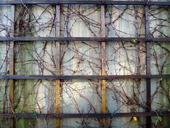 plant-growing-on-wall--pics-from-CSHL--DSC01344DSC06690 (mbgmbg) Tags: grid series cshl kw2flickr kwgooglewebalbum takenbymarkgerstein kwpotppt kwphotostream5 i0gi2015 seriesi0gi2015upload
