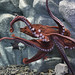 "GiantPacificOctopus40 • <a style=""font-size:0.8em;"" href=""http://www.flickr.com/photos/91322999@N07/22762048137/"" target=""_blank"">View on Flickr</a>"
