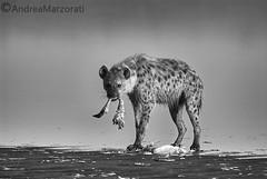 Hyena (andrea.marzorati) Tags: hyena africa safari flamingo black white crocuta