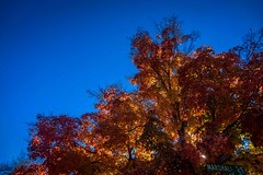 A maple tree in fall colours in Longmont, CO.