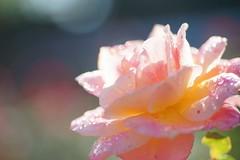ばら(薔薇)/Rosa sp. (nobuflickr) Tags: flower nature rose japan kyoto 日本 花 thekyotobotanicalgarden rosasp 京都府立植物園 awesomeblossoms バラ科バラ属 ばら薔薇 20151028dsc01211 【品種】スブニールドゥアンネフランクsouveirdannefrank1960年作出 ベルギーfl系