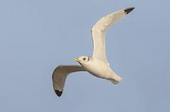 Motvindsmke (Arnt Kvinnesland) Tags: november norway outdoor wildlife gull seabirds rogaland karmy kittiwake mke ferkingstad krykkje mker coastalbirds sjfugler kystfugler ferkingstadmoloen
