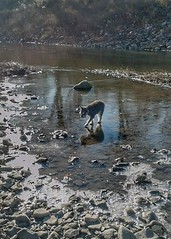 Walking on Thin Ice (TBT) (Pep's Hiking Team) Tags: river schnauzer minischnauzer traildog 2013 flickrheroes wildernessdogs adventuresniffer