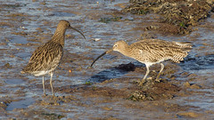 An unusually valuable piece of mud (Ian-S) Tags: bird nature mud feeding wildlife wellsnextthesea curlew quarrel wader
