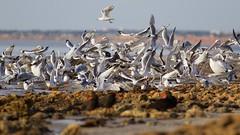 a person walks their dog (sunphlo) Tags: pelican birdsinflight southaustralia silvergull crestedtern aldingabeach snapperpoint