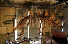 Tuojiangosaurus (praja38) Tags: life china uk england people london nature museum fossil hall dinosaur display britain tail caps ceiling naturalhistory mounted british plates sichuan naturalhistorymuseum spikes province rafters stegasaur herbivorous jurassicperiod tuojiangosaurus stegosaurid tuoriverlizard shaximiaoformation