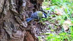 Msange bleue (Cyanistes caeruleus) (yann.dimauro) Tags: france animal fr extrieur oiseau rhone rhnealpes givors ornithologie