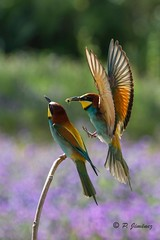 Abejarucos 37 (jimenezcuestapepe) Tags: fauna sevilla aves abejaruco andalucia espana localizacion morondelafrontera