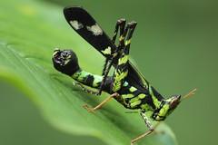 Chiang Mai area Orthoptera (Phil Arachno) Tags: philarachno insecta hexapoda arthropoda orthoptera insekt chiangmai thailand tha