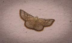 Enispa parva (dustaway) Tags: arthropoda insecta lepidoptera australianmoths australianinsects lismore nature northernrivers nsw australia noctuidae acontiinae enispaparva