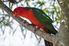 The King (Geoffsnaps) Tags: nikond810 nikon d810 fx gitzogm5541carbonmonopod gitzo gm5541 carbon monopod acratechpanoramichead monopodhead acratech panoramic head bjelke petersen dam bjelkepetersendam parrot king kingparrot