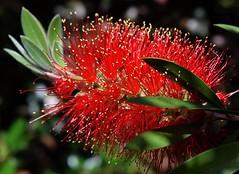 Scarlet Bottlebrush (Nelson~Blue) Tags: callistemon viminalis scarlet bottlebrush