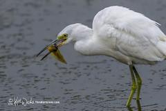 Yummy... (ThruKurtsLens.com (Kurt Wecker)) Tags: 2016 kurtwecker nature naturephotographer thrukurtslenscom wildlife wildlifephotographer wildlifephotography