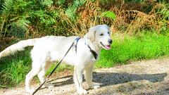 Charlie 21.5 weeks old (Mark Rainbird) Tags: canon charlie dog powershots100 puppy retriever uk ufton england unitedkingdom