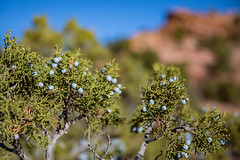 Utah Juniper on Way to Upheaval Dome (jeff_a_goldberg) Tags: juniperousosteosperma utah canyonlandsnationalpark nature nationalparkservice utahjuniper juniper landscape nps upheavaldome islandinthesky moab unitedstates us