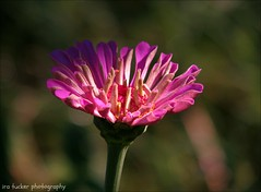 The problem with troubleshooting.... (itucker, thanks for 2.5+ million views!) Tags: zinnia macro bokeh dukegardens